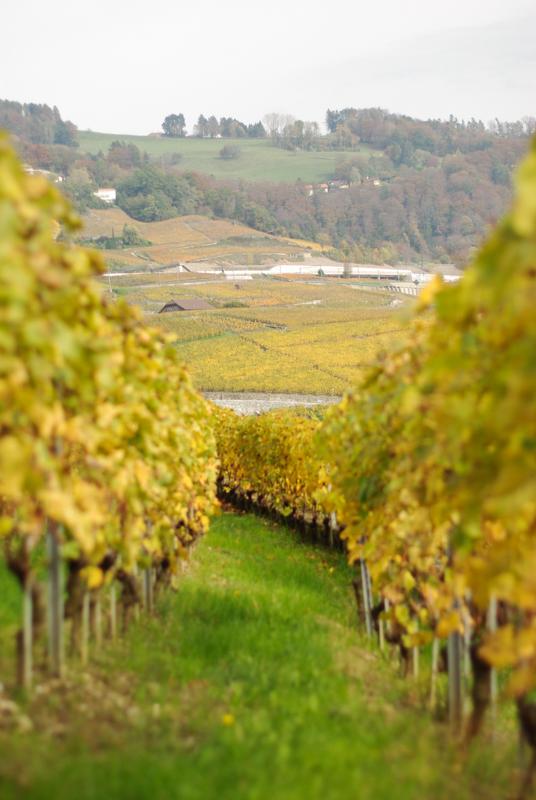 Vignes - Maisons au coeur du coteaux du Lavaux - Suisse
