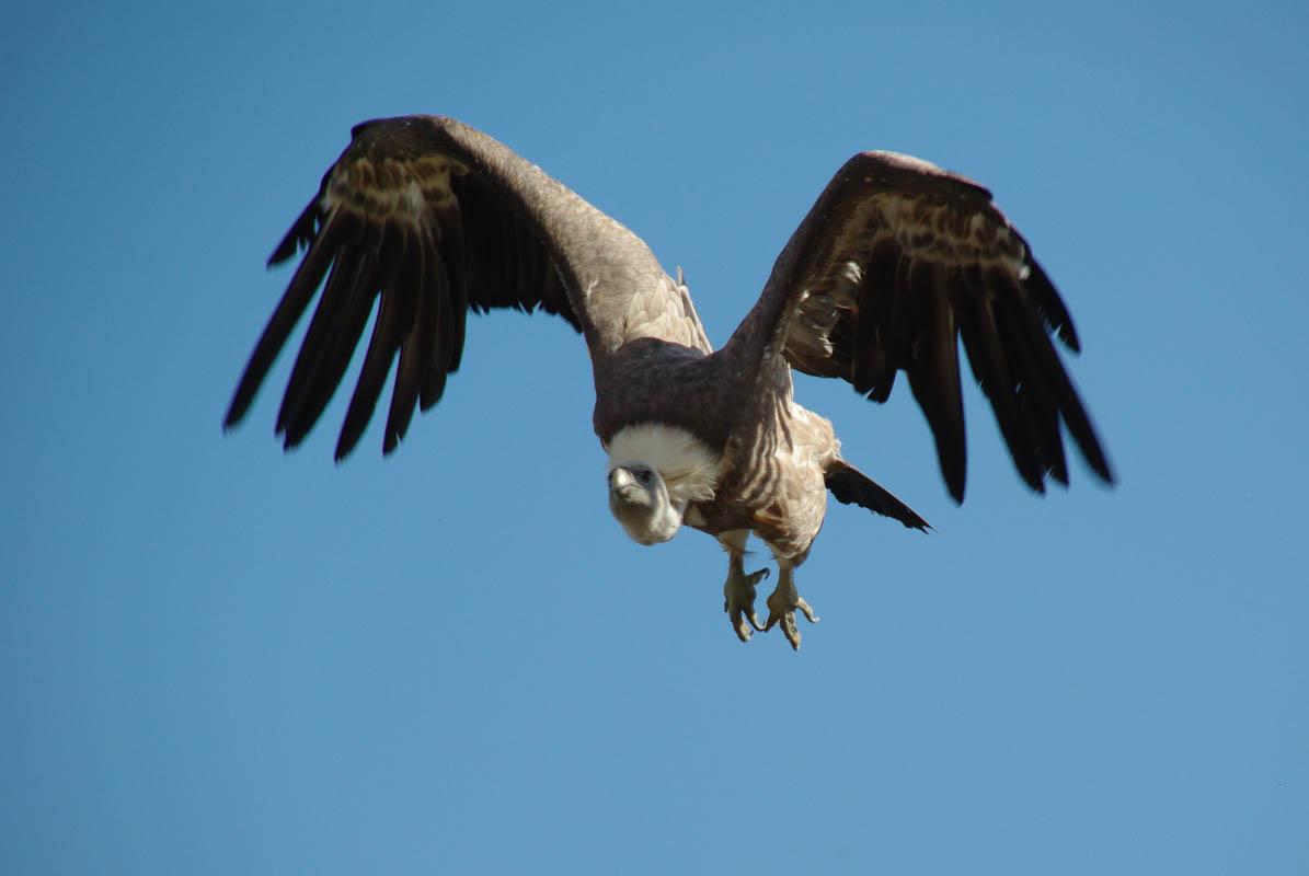 Un vautour lors du spectacle de rapaces - Les aigles des remparts - Provins