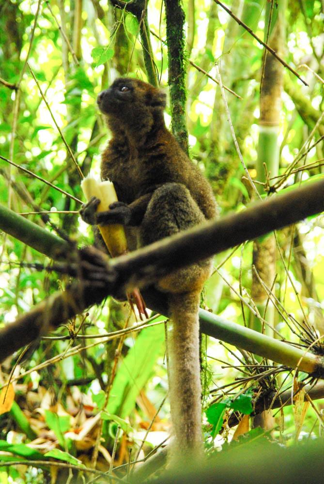 Lemur Bambou - Ranomafana - Madagascar