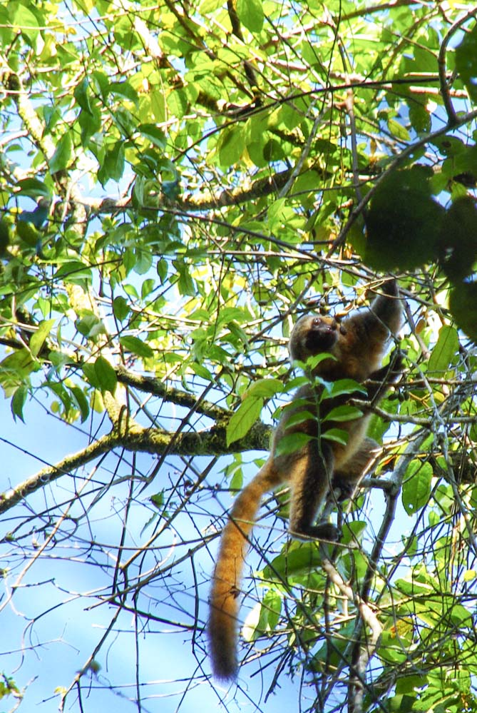 Lemur doré - PArc de Ranomafana - Madagascar