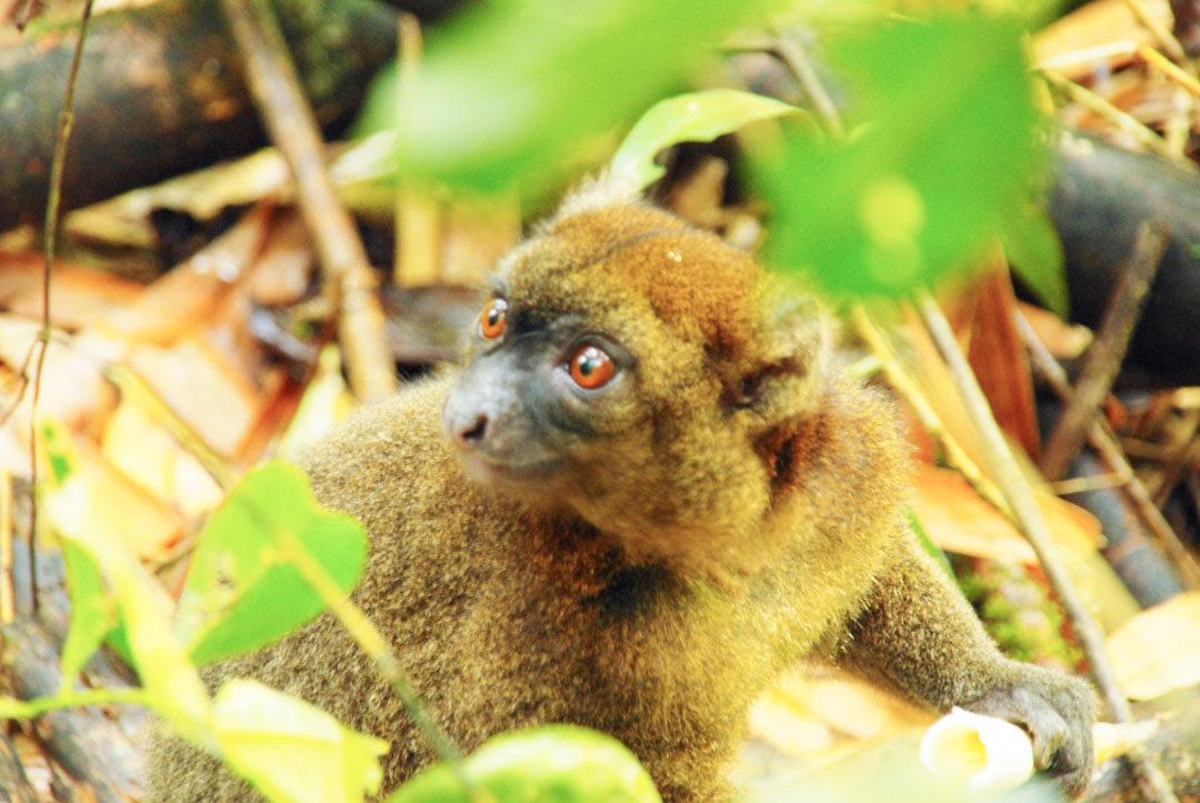 Lemurien - Parc de Ranomafana - Madagascar