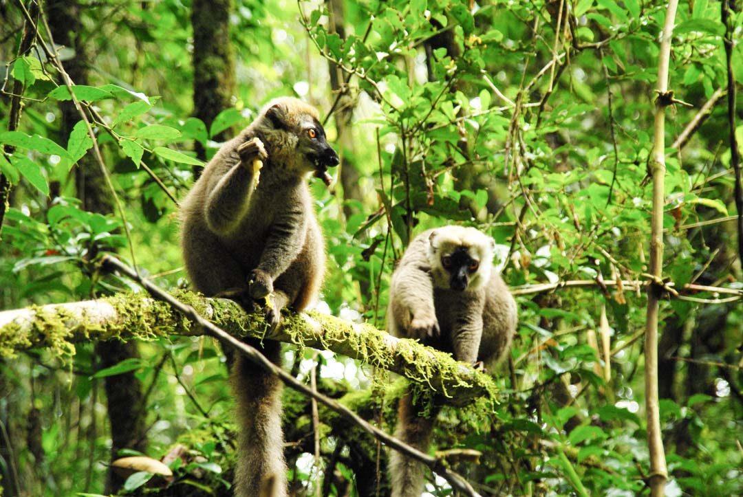deux lémurs fauves dans la forêt de Ranomafana