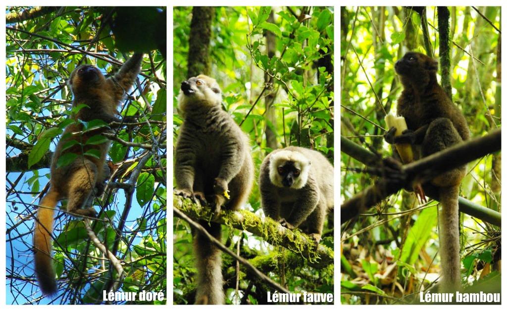 lemuriens - ranomafana à madagascar