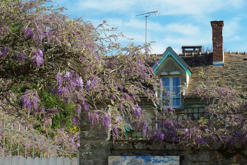 une maison avec ses lilas en fleurs - barbizon