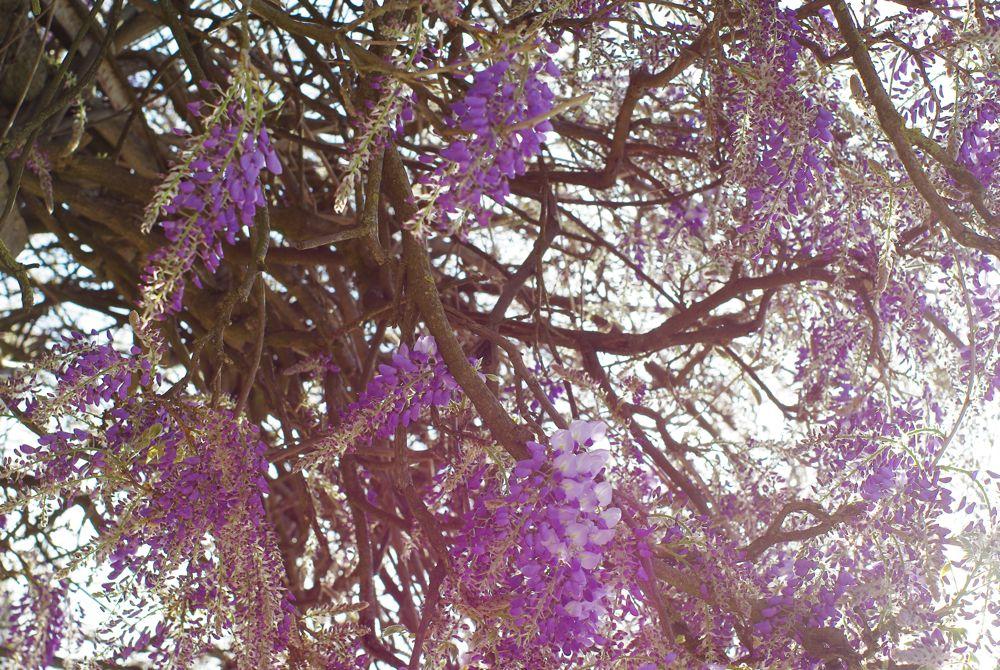 lilas en fleurs