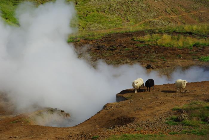 moutons se réchauffant avec les fumerolles de soufre