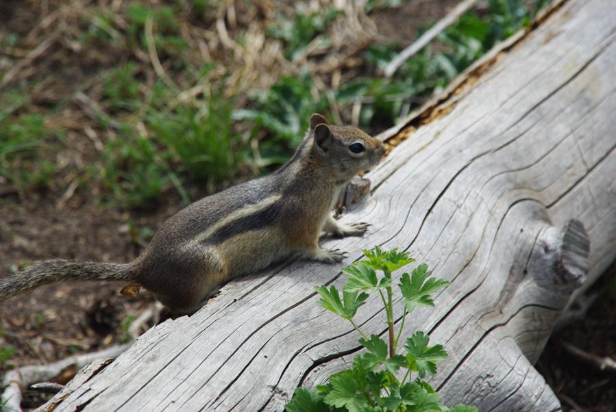 Petit écureuil - parc national des Rocheuses