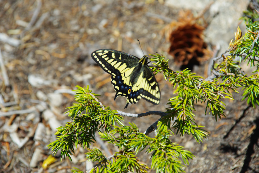 Grand papillon jaune - parc national des Rocheuses - Colorado