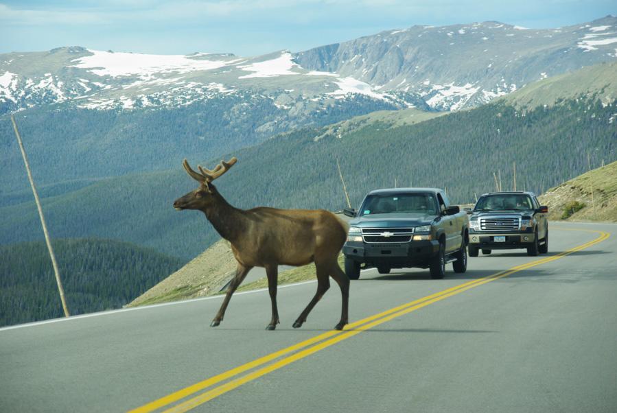 un cerf traverse la route - Parc national des Rocheuses
