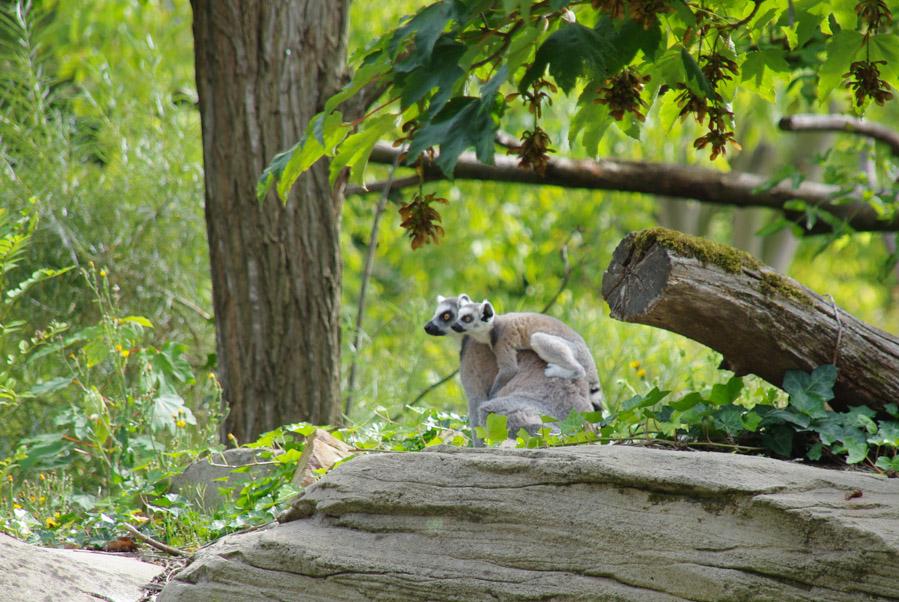 lémuriens de Madagascar au Zoo de Paris