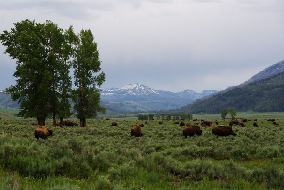 troupeau de bison dans la Lamar Valley - Yellowstone