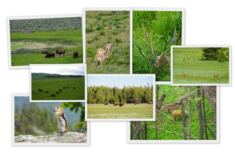 animaux sauvages à Yellowstone