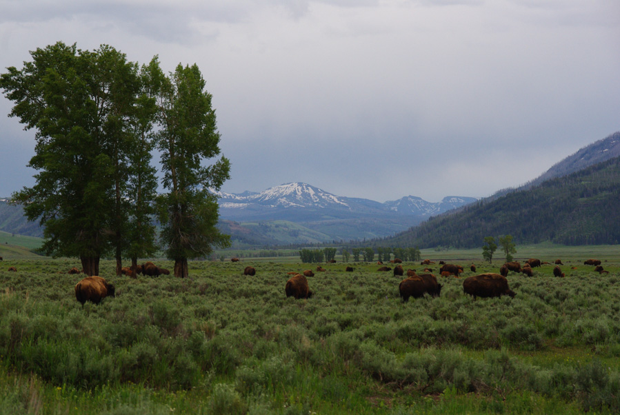 Troupeau de bisons - Lamar Valley - Parc National de Yellowstone