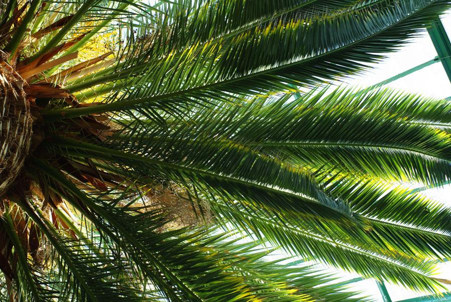 Palmier vu de dessous