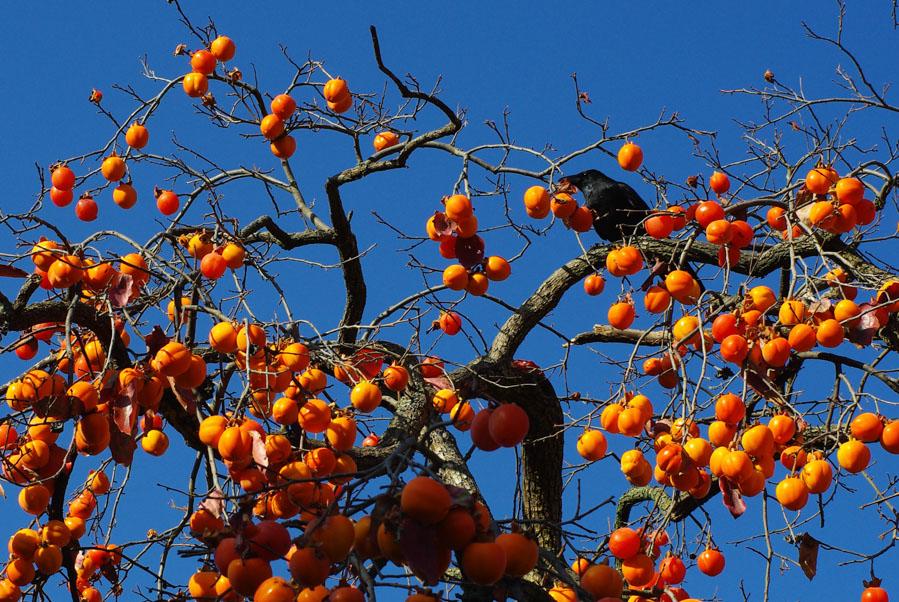 l'arbre à kakis