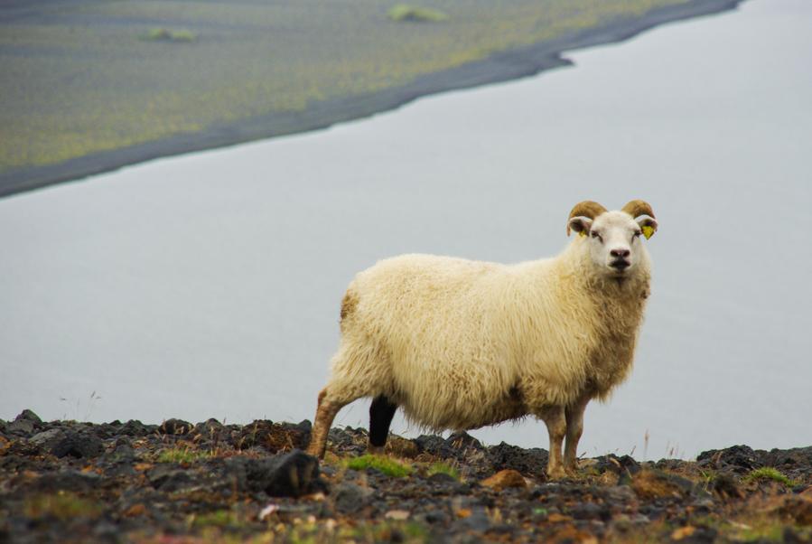 mouton islandais en quasi liberté près de vik