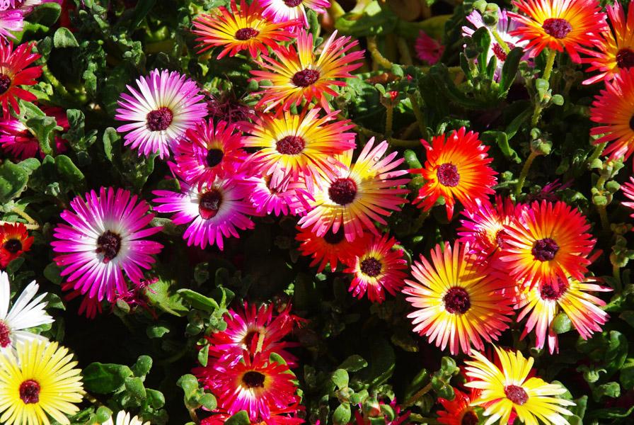Fleurs multicolores - jardin botanique d'Akureyri - Islande
