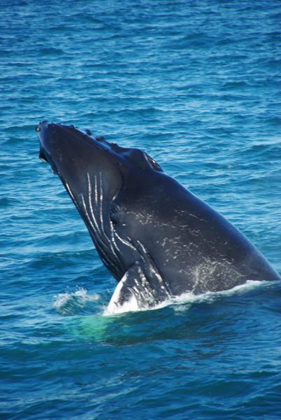 baleine d'islande