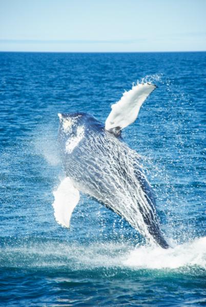 oservation des baleines en islande