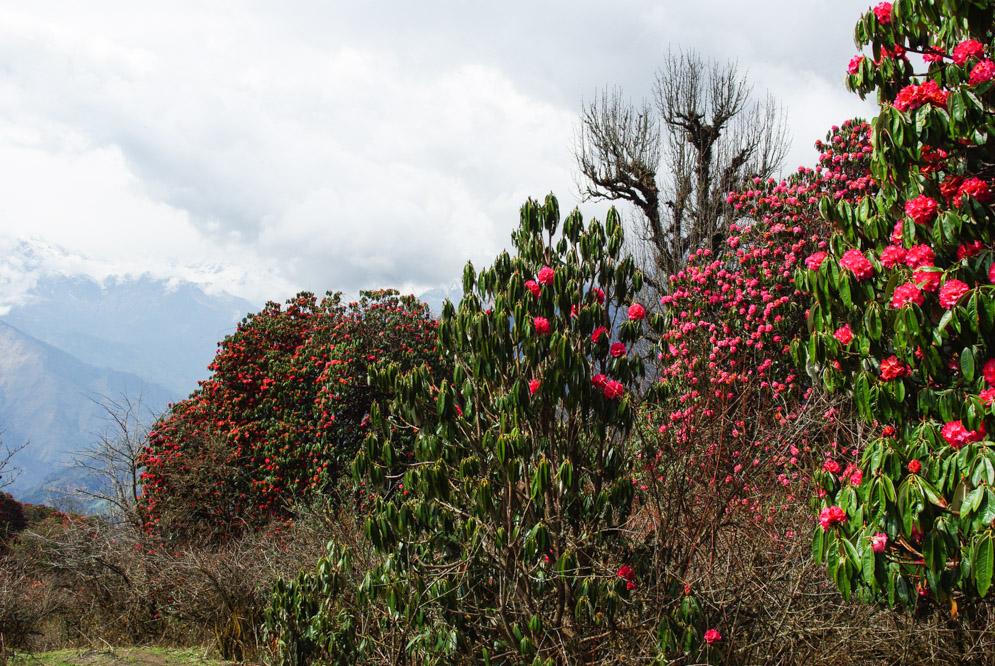 Les rhododendrons en fleurs au Népal