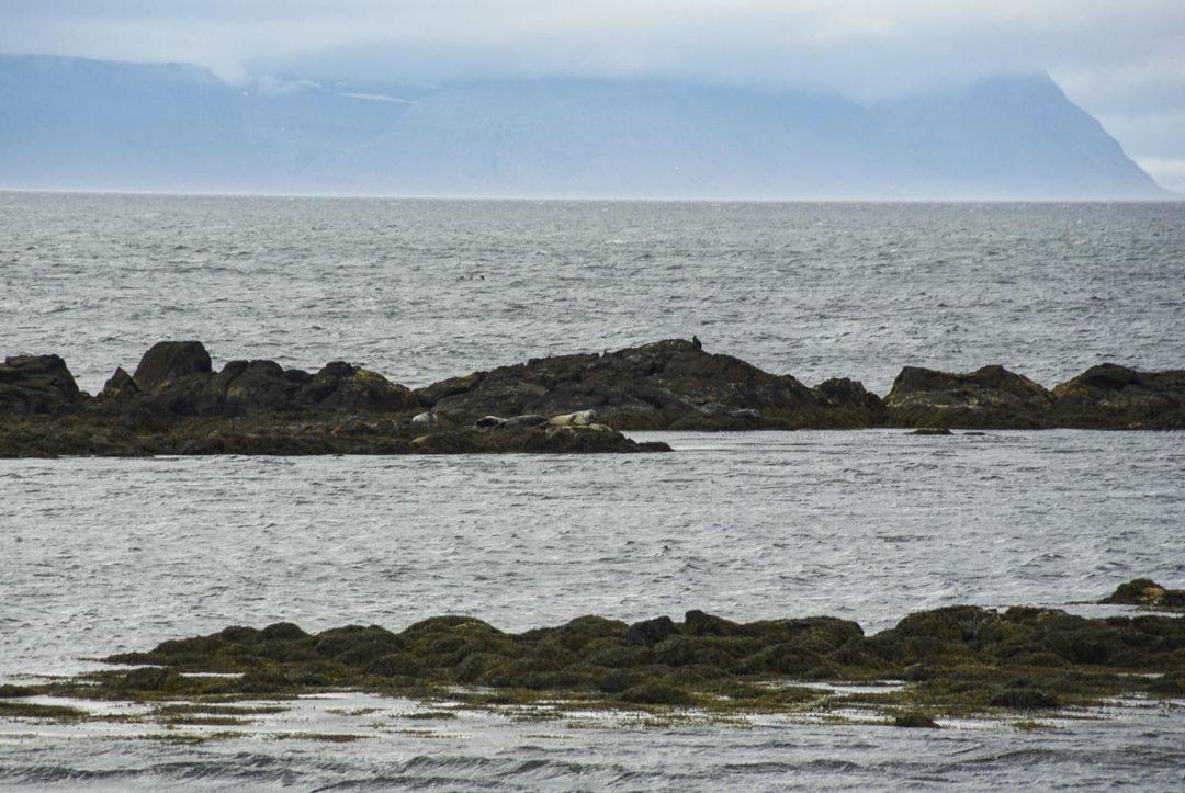 Observation des phoques à Illugastathir
