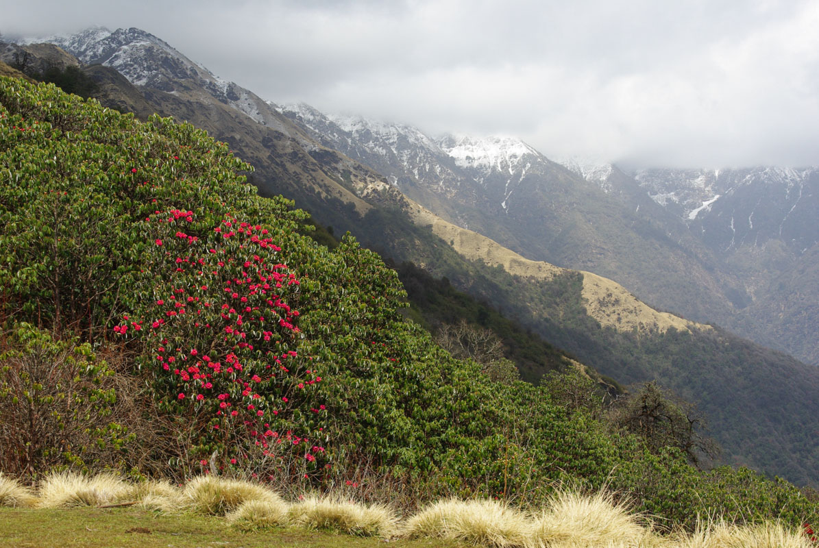 Les rhododendrons laissent places aux herbes hautes - Népal
