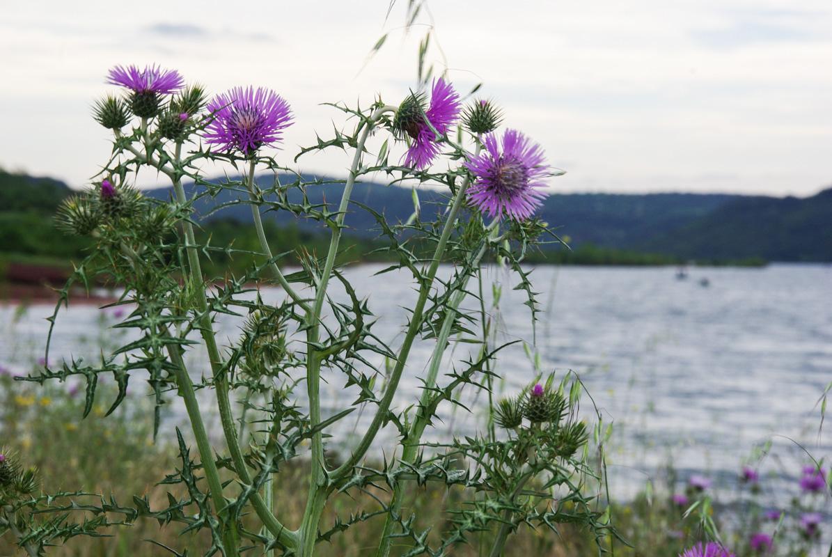 fleurs de chardon - lac du Salagou