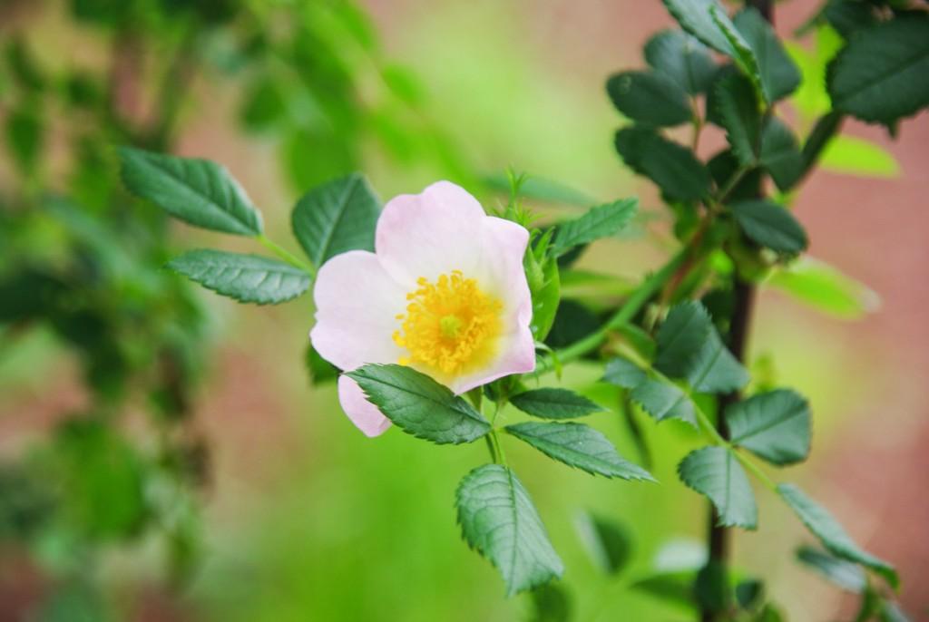 fleur de lierre