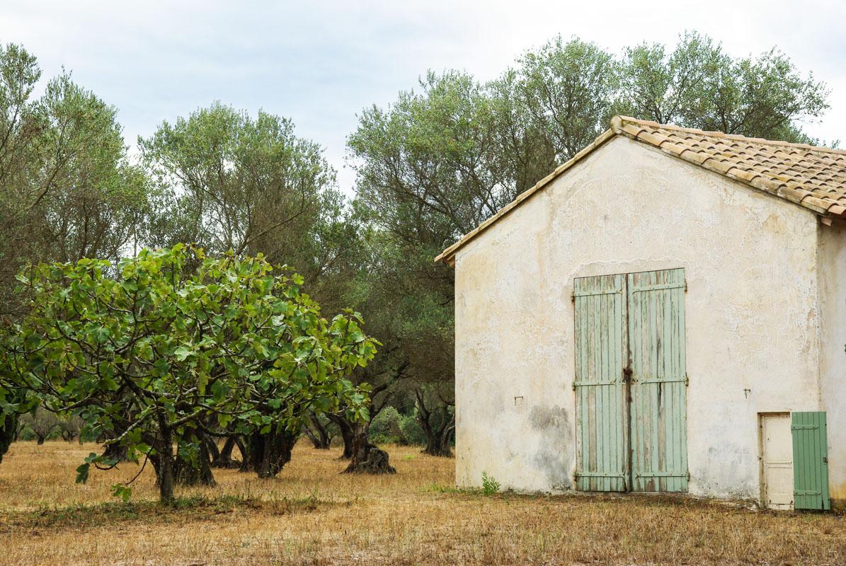champs d'olivers - île de Porquerolles