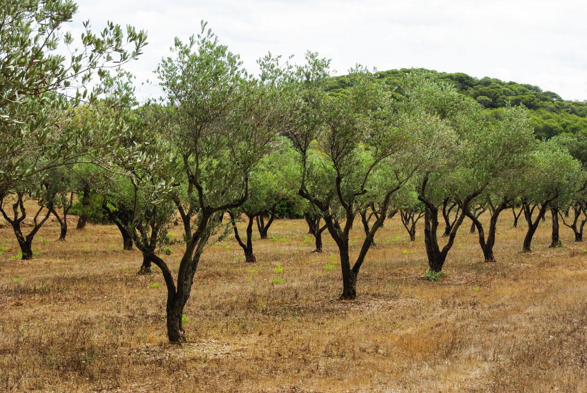 champs d'olivier à Porquerolles