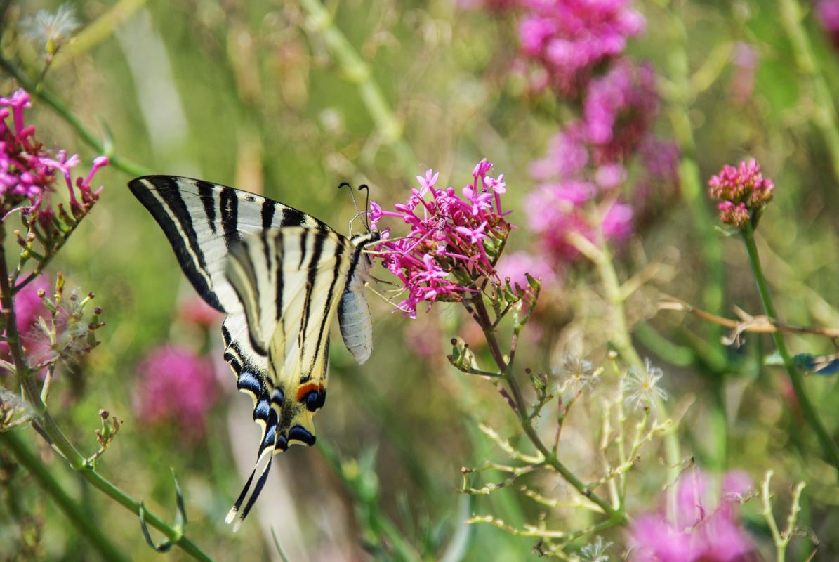 Papillon Machaon ou grand porte queue