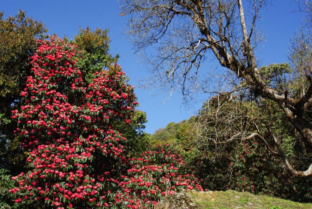Un rhododendron en fleurs