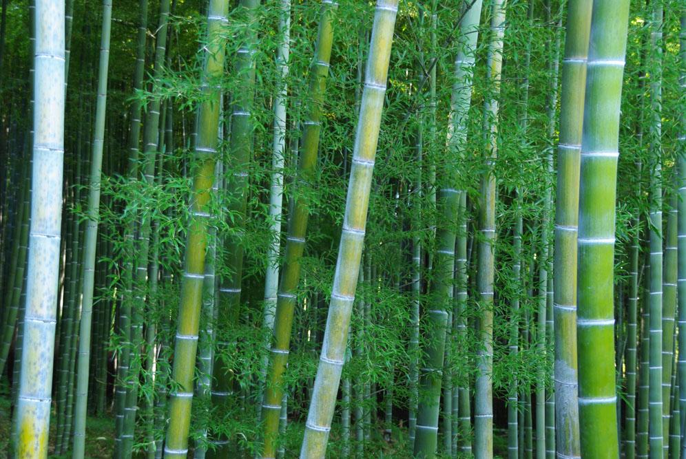 Bambouseraie d'Arashiyama - Kyoto
