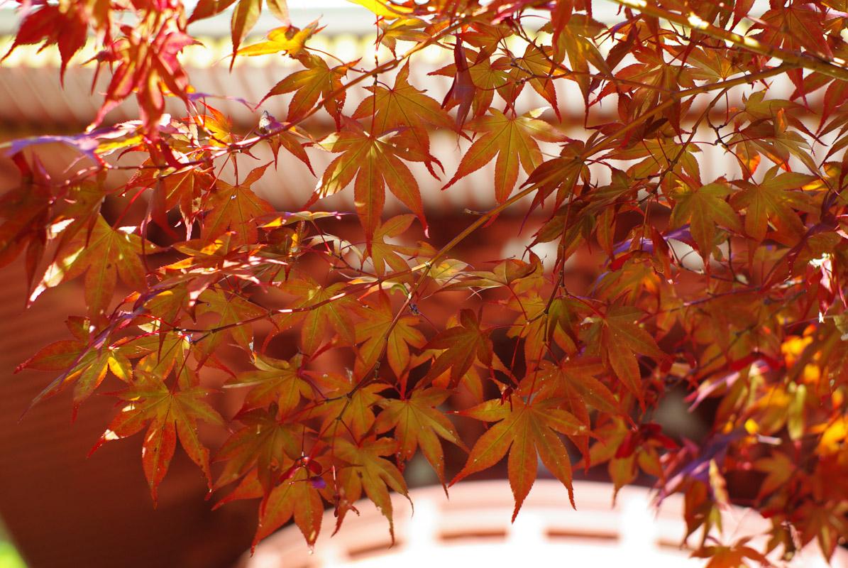 Momijigari, couleur d'automne à Koya San