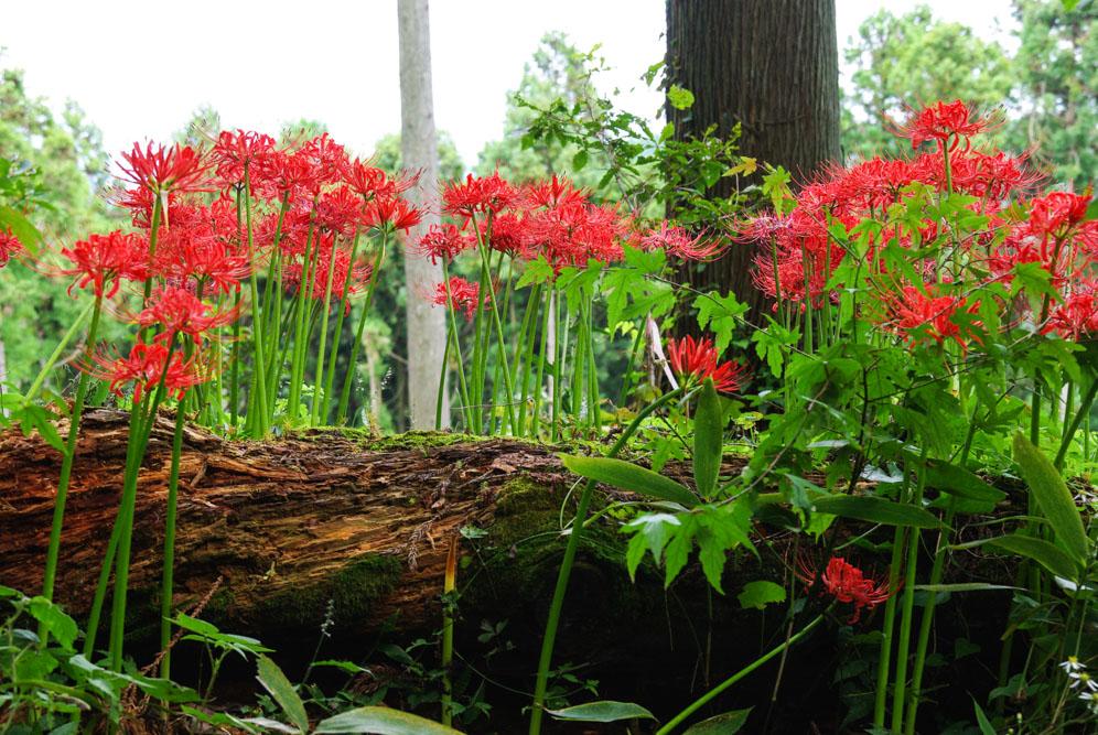 fleurs le long de la randonnée de Takao San