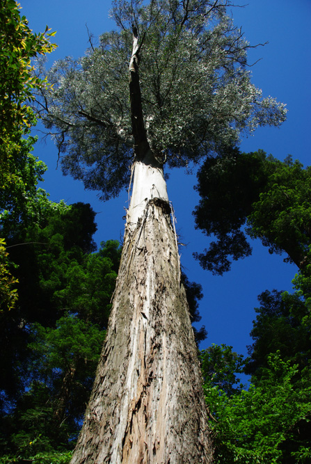 arbre géant - Eucalyptus de Tasmanie - Forêt de Bussaco
