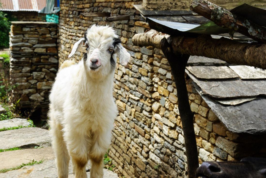 chèvre se rendant au sacrifice