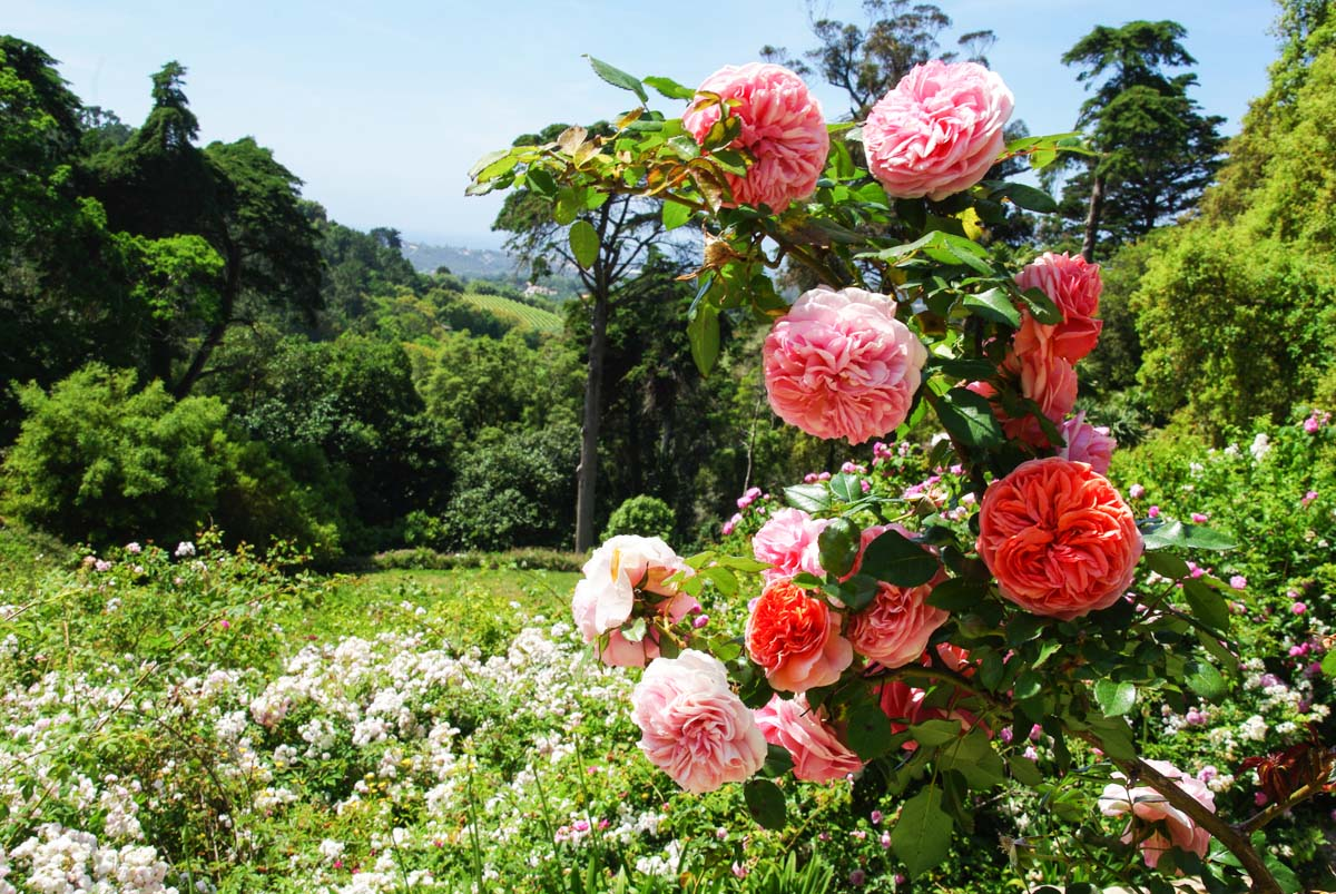 Jardin botanique - roserai du Parc de Montserrate