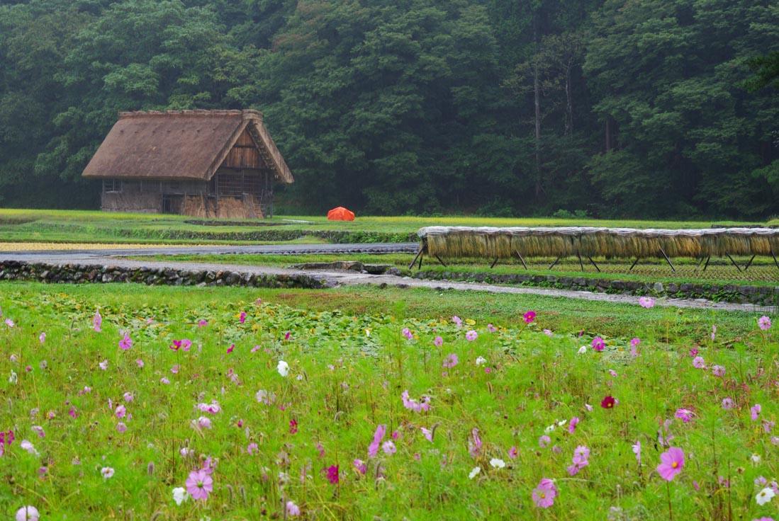 dans les rizières de shirakawa-go