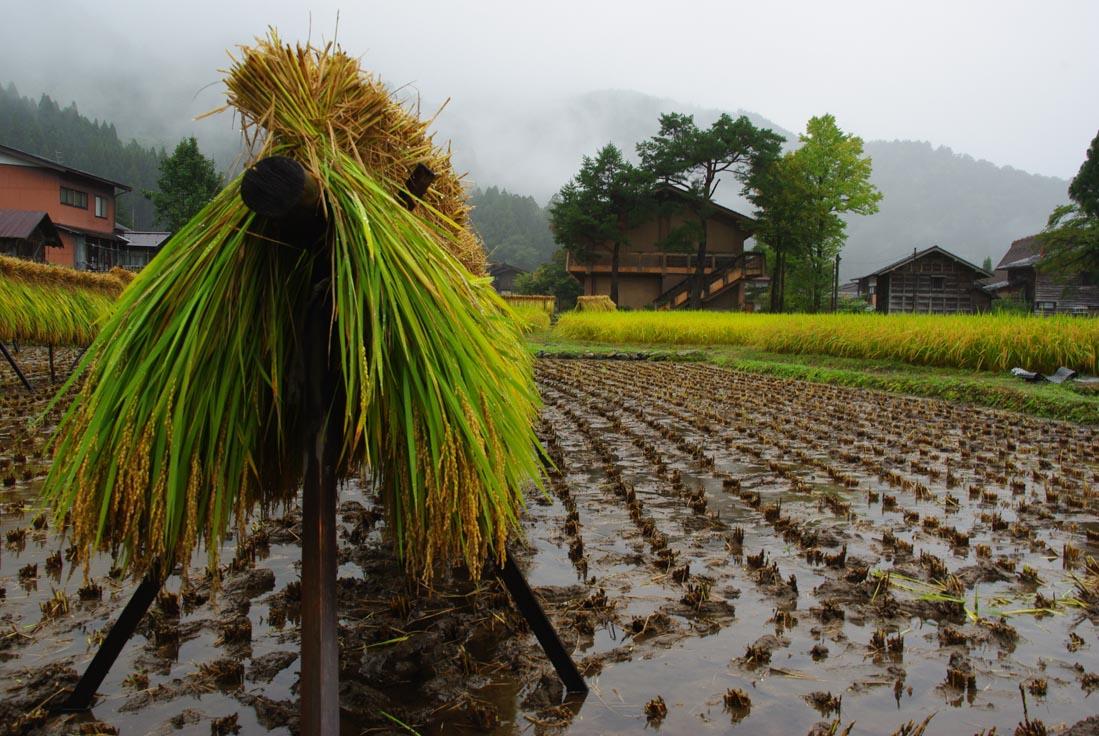 riz tout juste coupé qui seche