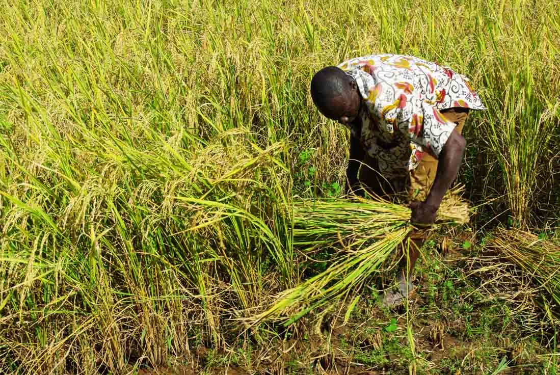 une homme coupe le riz - burkina faso