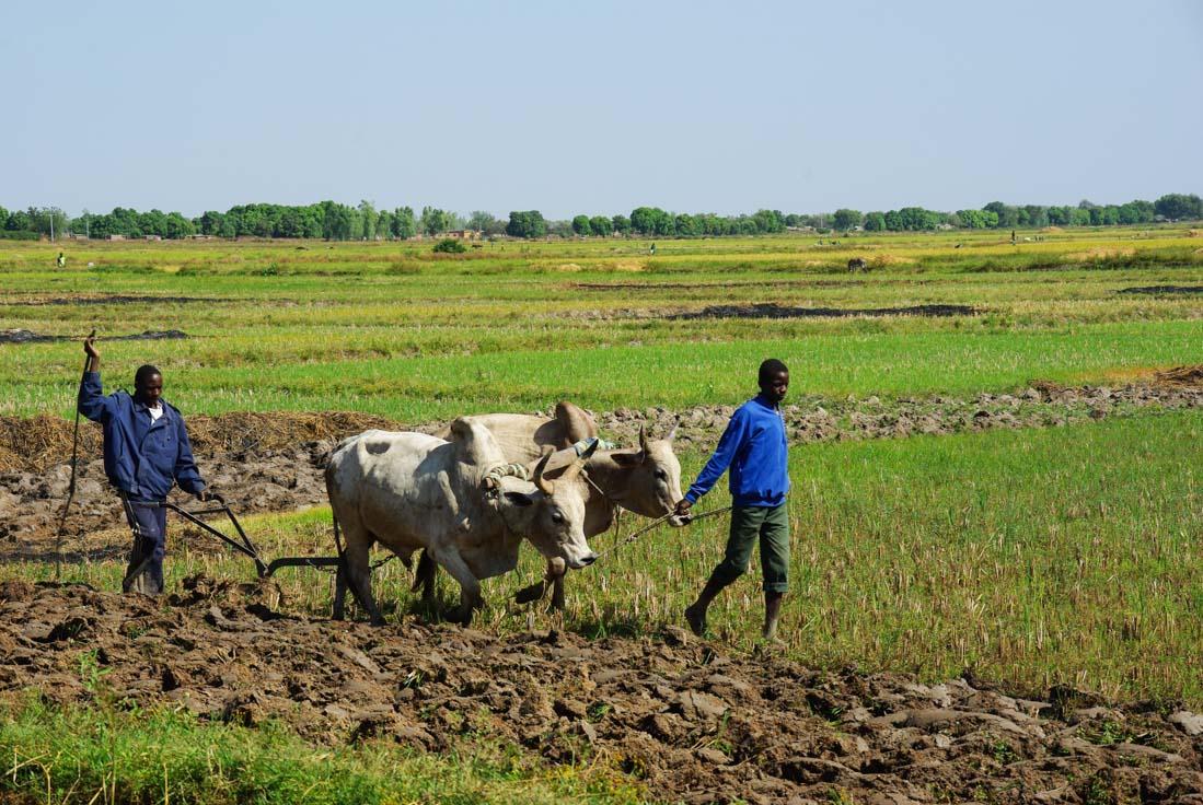 travaux de labourage dans les rizières - Burkina Faso