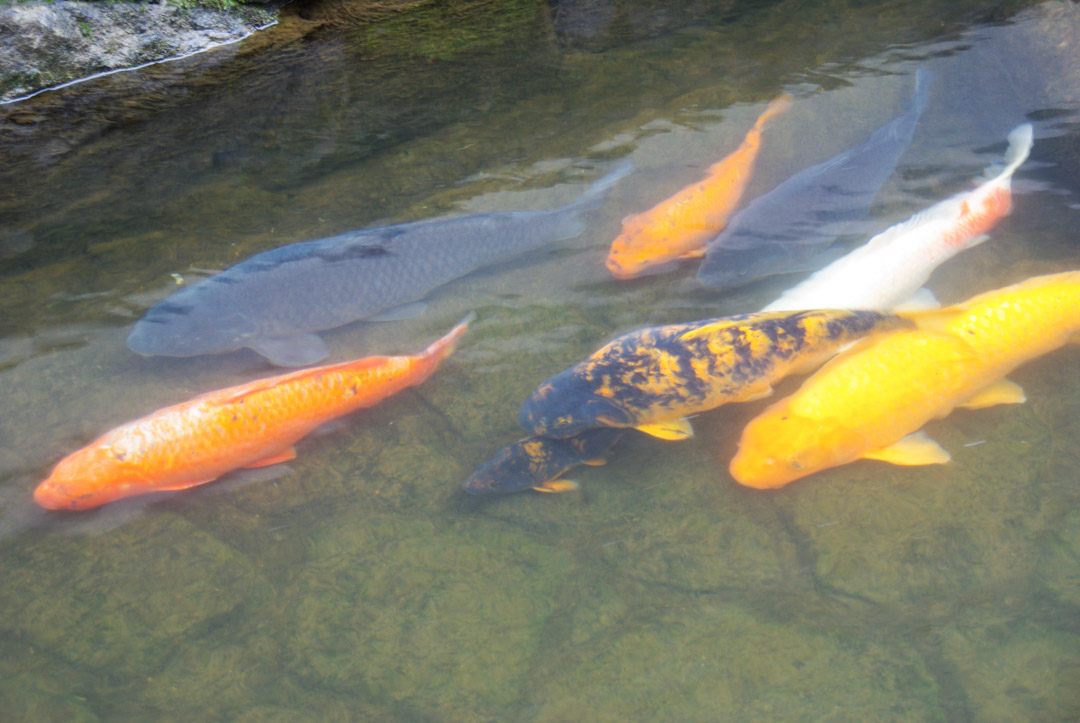Les carpes du canal d'Hida Furukawa