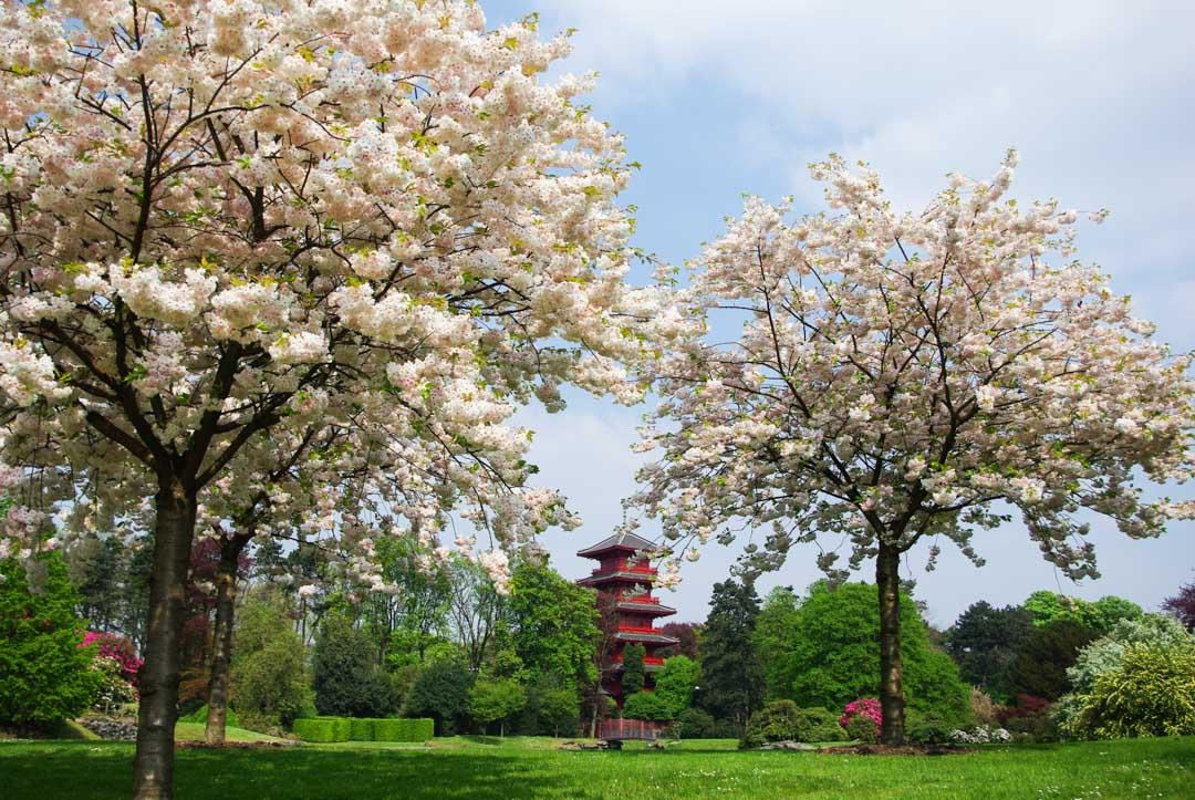Cerisier en fleurs devant une pagode chinoise à Bruxelles
