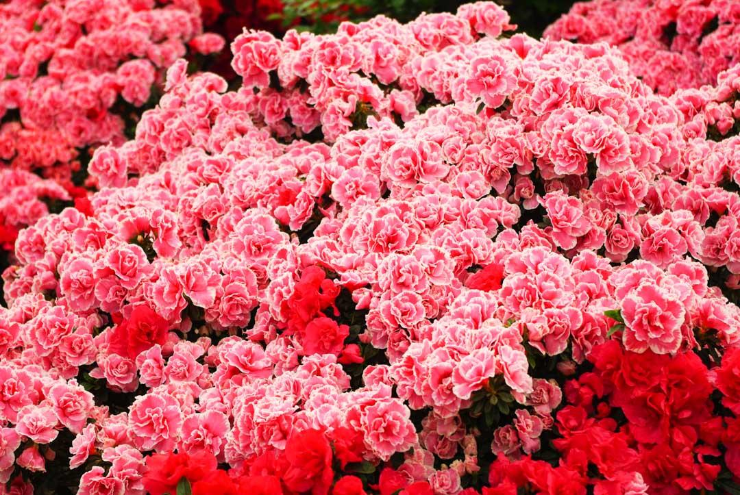 Fleurs roses - Serres royales de Laeken - Bruxelles