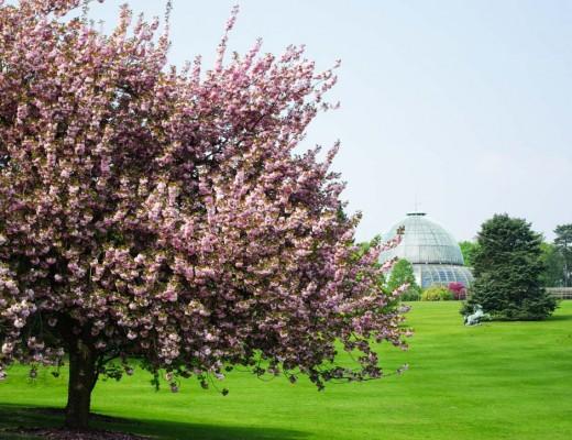 Cerisier en fleurs - Serres royales de Laeken - Bruxelles