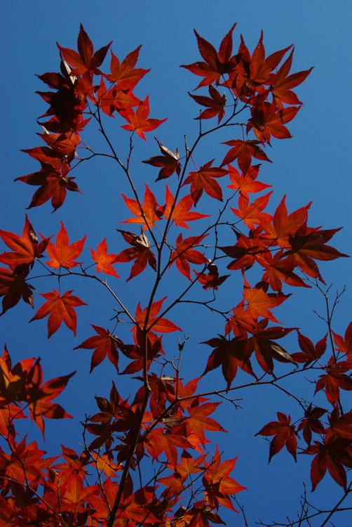 feuilles d'érables du japon pendant le Momiji