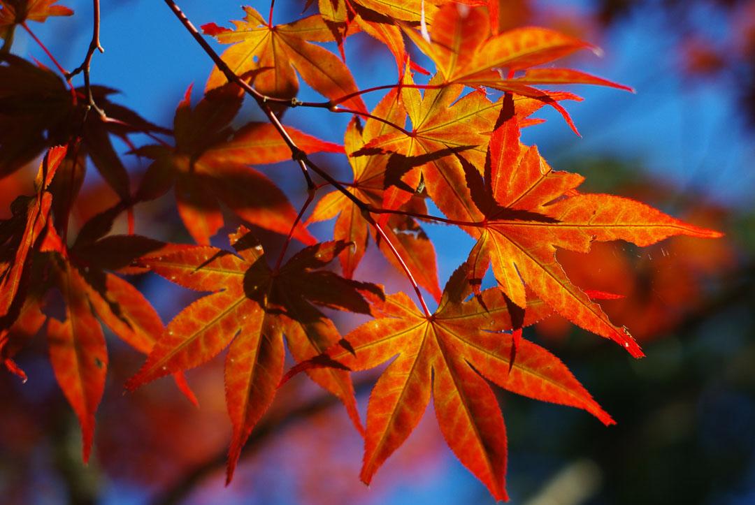 feuilles d'érable pendant le momiji