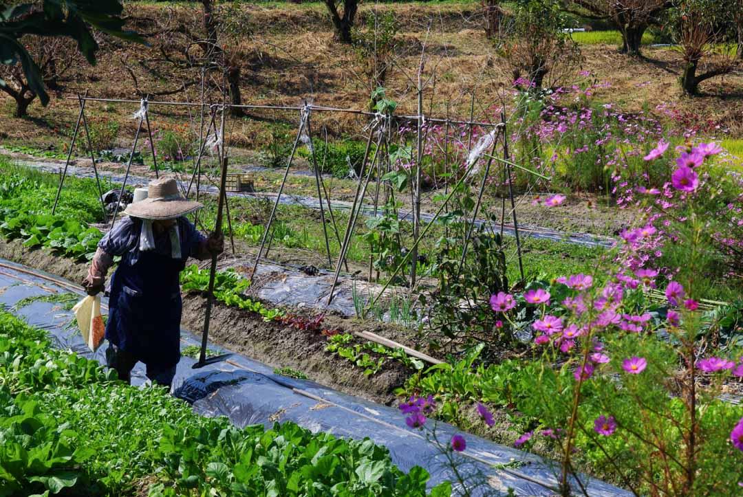 paysan dans les champs - Japon