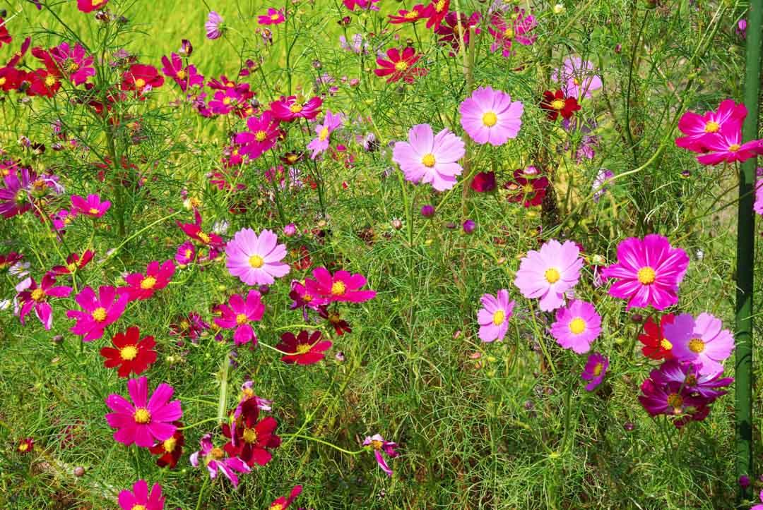 fleurs sauvages multicolores - japon